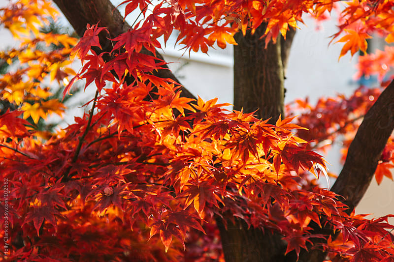 Briliant red and orange fall leaves on a maple tree. by Holly Clark for Stocksy United