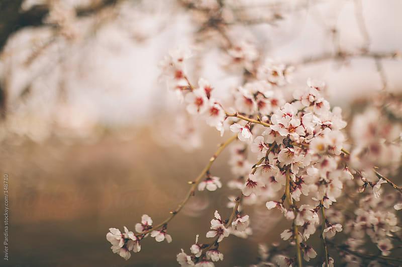 Almond Blossom by Javier Pardina for Stocksy United