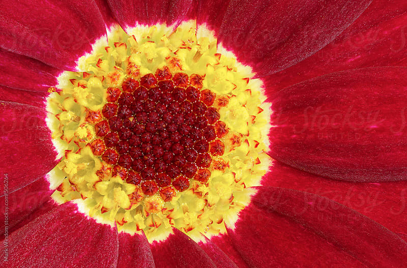 Marguerite Daisy ('Madeira Red') flower, closeup by Mark Windom for Stocksy United