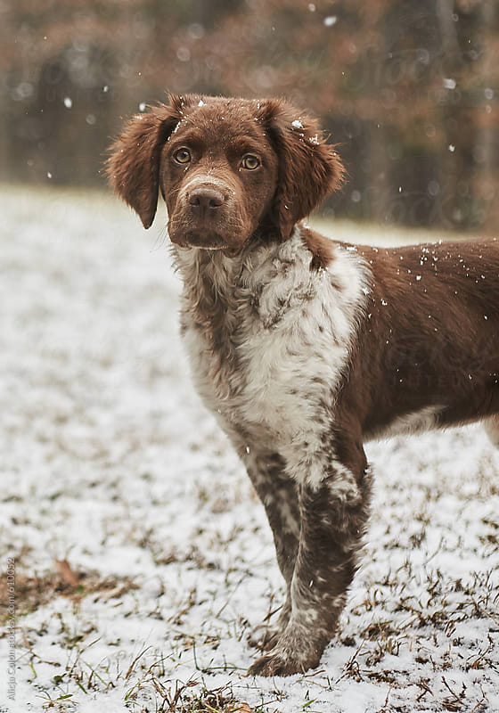 Brittany Spaniel puppy in freshly fallen snow by Alicja Colon for Stocksy United