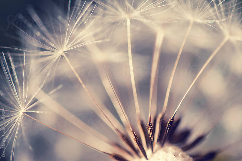 Macro of dandelion puff by Kerry Murphy for Stocksy United