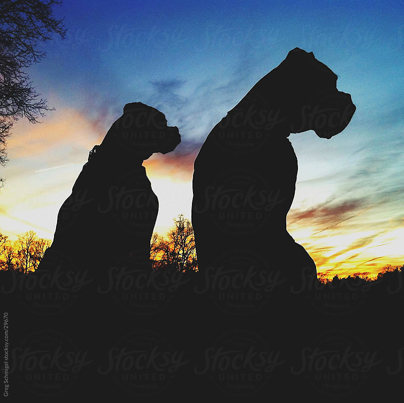 Boxer dogs at sunset by Greg Schmigel for Stocksy United