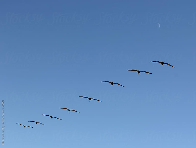 Row of birds fly in formation through the sky by Monica Murphy for Stocksy United