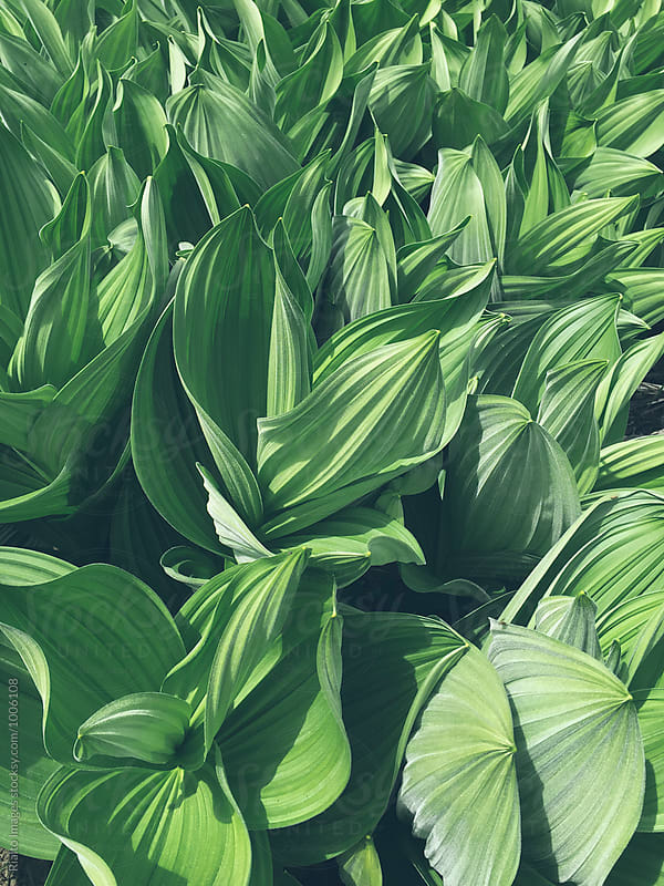 Close up of Corn lily plants (Veratrum californicum), Cascades, WA, USA by Paul Edmondson for Stocksy United