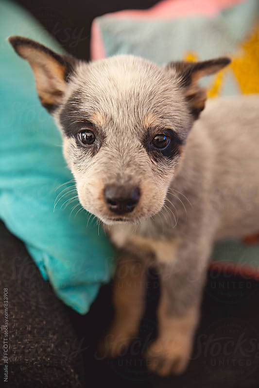 Cute 10 week old Blue heeler puppy inside on the couch by Natalie JEFFCOTT for Stocksy United