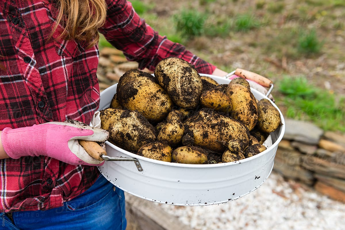 Digging Up Potatoes In Vege Garden | Stocksy United