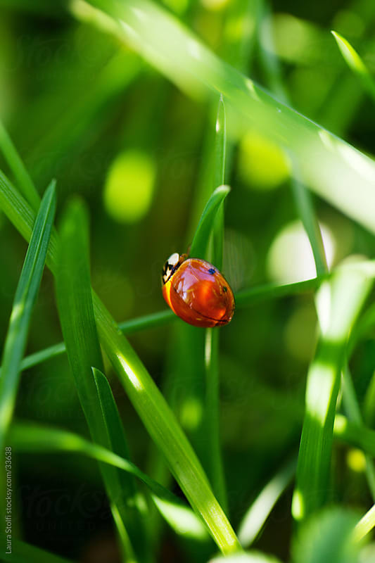 Macro catch of ladybird clung to blade of grass amongst sunrays by Laura Stolfi for Stocksy United