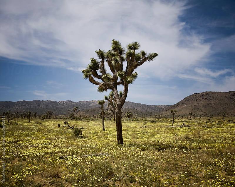 Joshua Tree National Park by Nicolai Perjesi Photography for Stocksy United