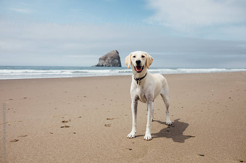 Happy white dog at the beach by Kristine Weilert for Stocksy United