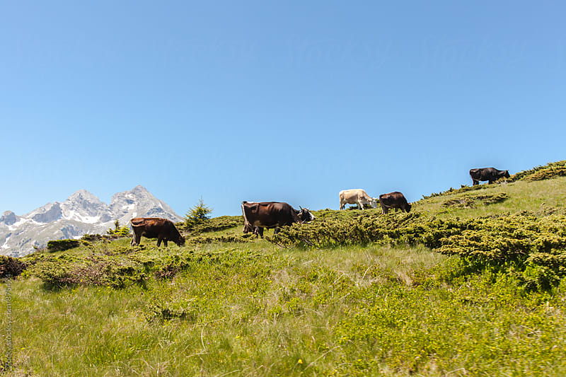 Cows on mountain meadow by Zocky for Stocksy United