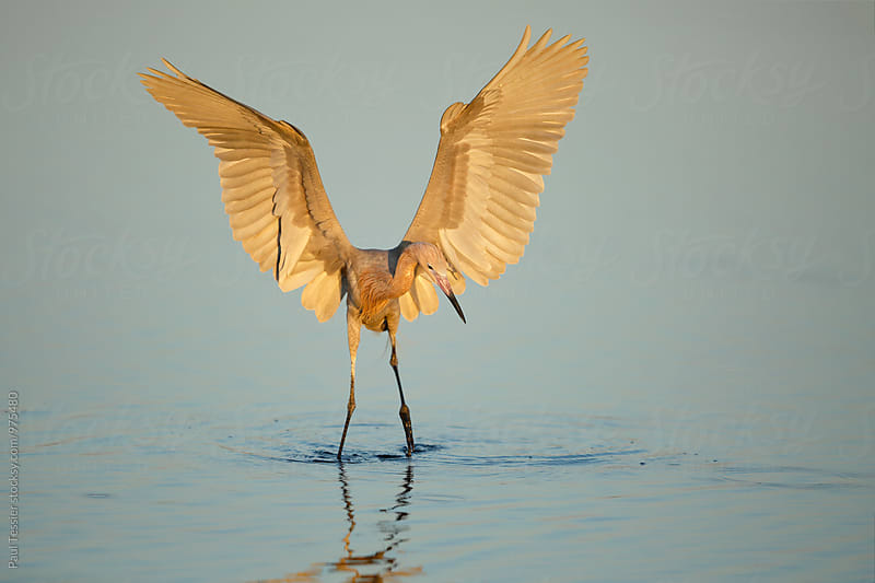 Reddish Egret by Paul Tessier for Stocksy United