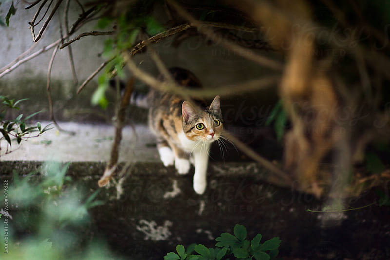 Young tabby cat lies in ambush ready to jump under bush tangle in summer garden by Laura Stolfi for Stocksy United