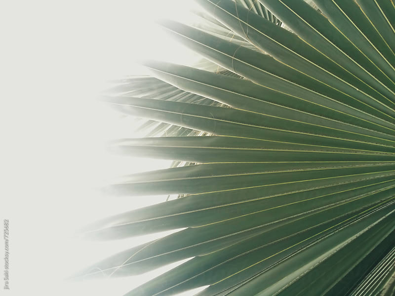 palm tree leaf by jira Saki for Stocksy United