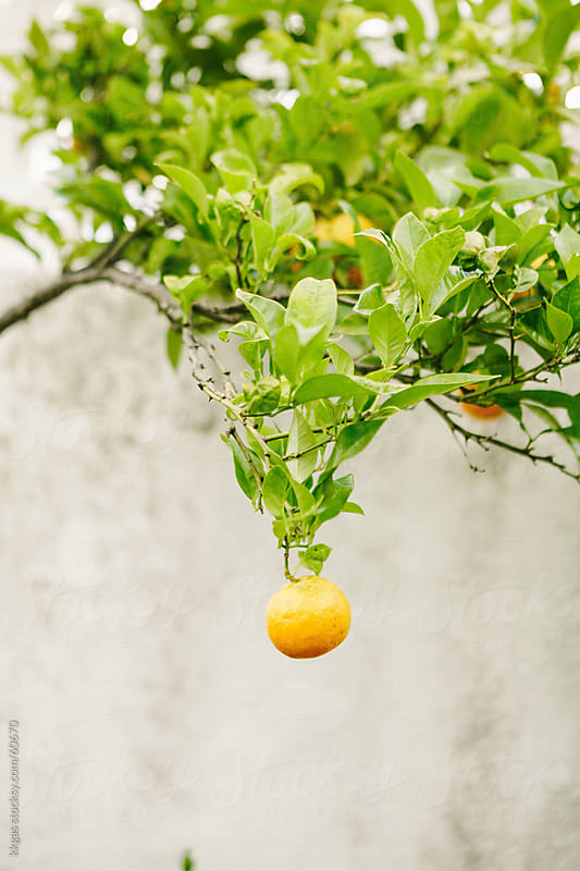 Orange hanging from tree. by kkgas for Stocksy United