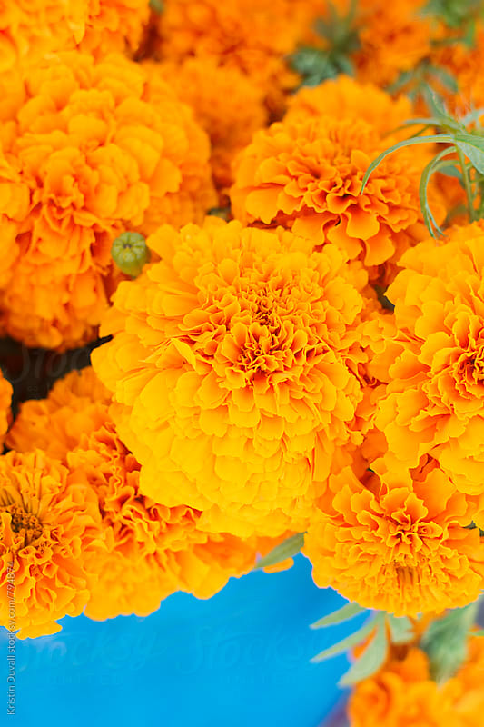 Marigolds by Kristin Duvall for Stocksy United