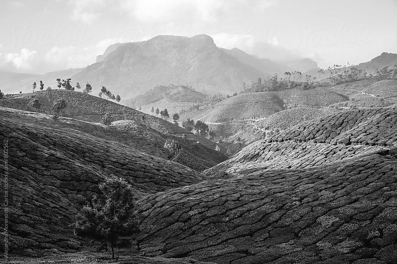 Black and White mountainous scenery of tea plantations and trees in a valley on a sunny day in Munnar, India by Alejandro Moreno de Carlos for Stocksy United