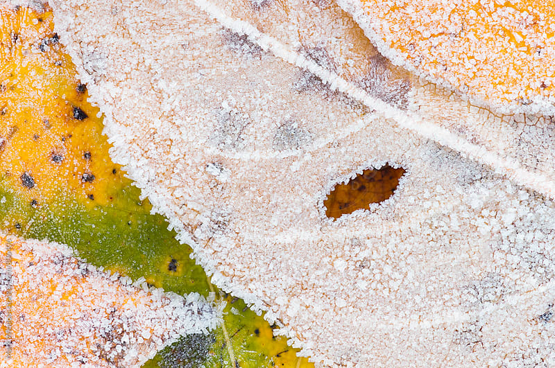 Frosty cottonwood leaves, closeup by Mark Windom for Stocksy United