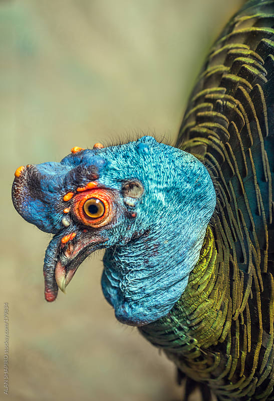 Ocellated Turkey in profile by alan shapiro for Stocksy United