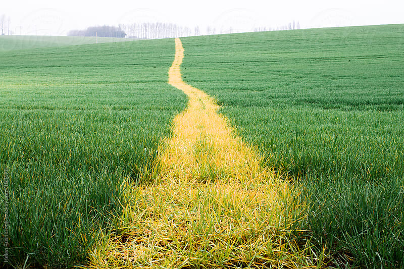 A yellow path through a farmer's field by Helen Rushbrook for Stocksy United