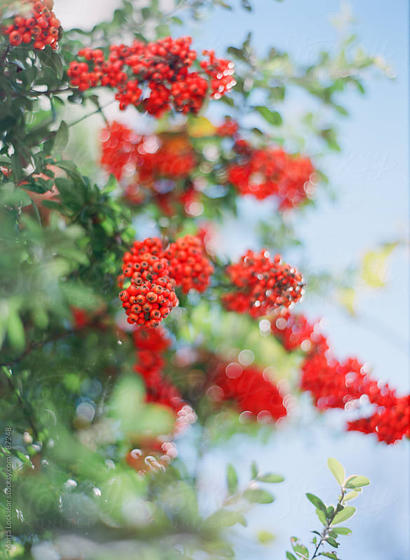 Pyracantha Berries by Marta Locklear for Stocksy United