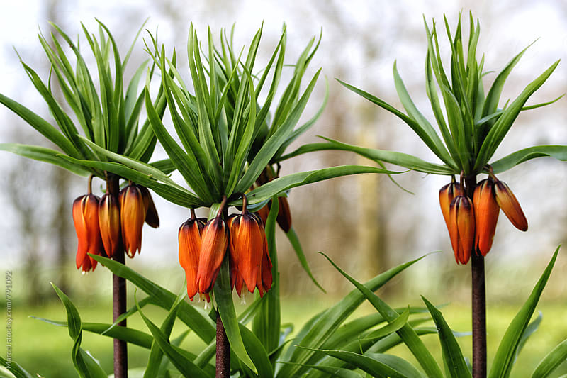 Frittilaria imperialis plants blooming in early spring by Marcel for Stocksy United