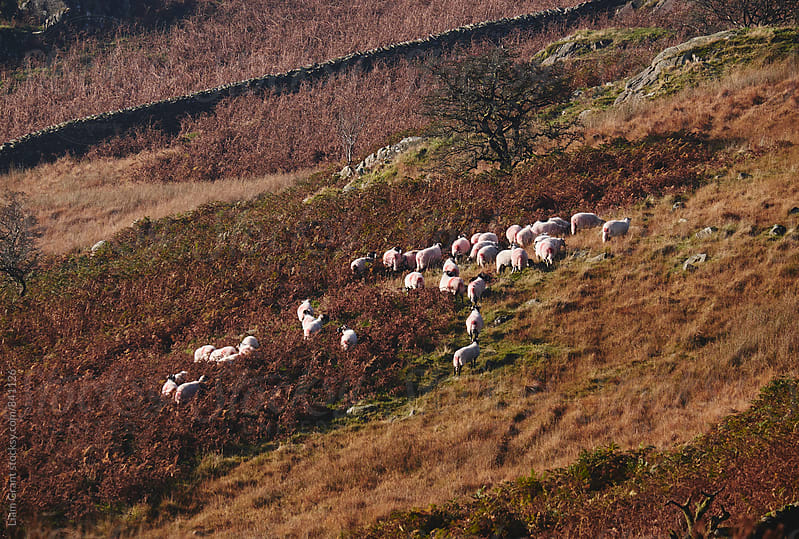 Sheep on the hillside. Kirkstone, Cumbria, UK. by Liam Grant for Stocksy United