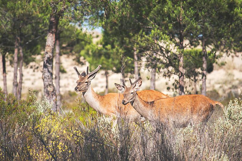 Couple of male deer by ACALU Studio for Stocksy United