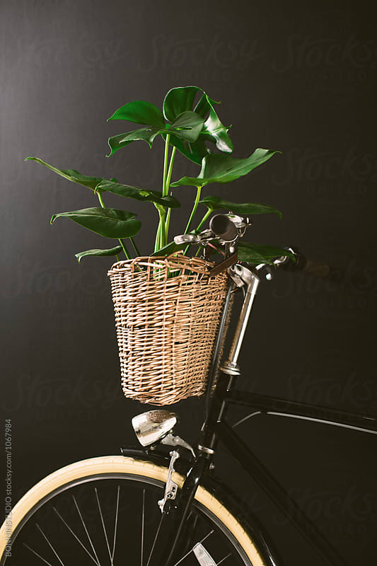 Closeup of a bicycle holding a plant in a basket on black wall. by BONNINSTUDIO for Stocksy United