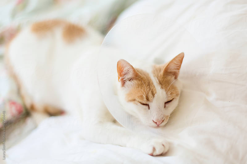 White and ginger cat wears e-collar while sleeping on bed by Laura Stolfi for Stocksy United