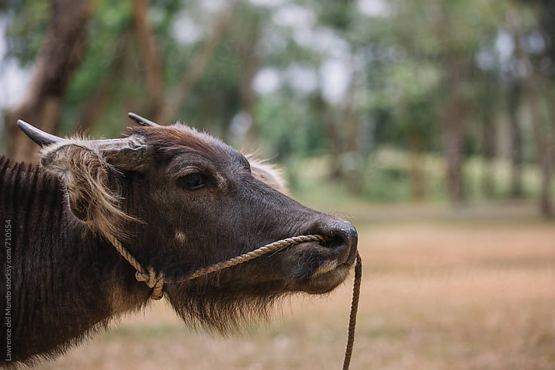 Portrait of young, adolescent carabao with harness by Lawrence del Mundo for Stocksy United