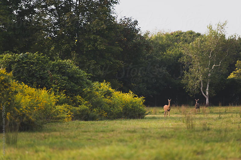 Deer in the woods by Lauren Naefe for Stocksy United