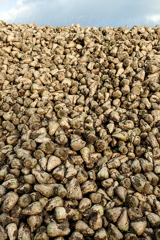 Sugar Beet after harvesting in a pile by Paul Phillips for Stocksy United
