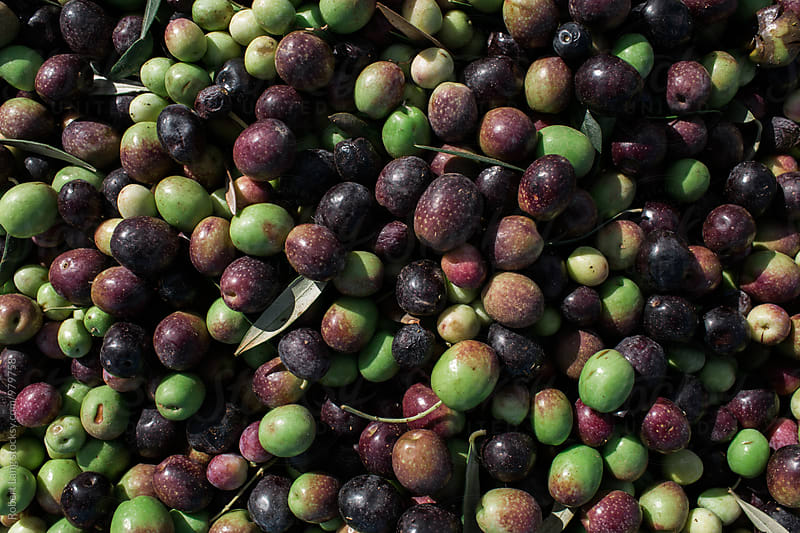 Raw olives  by Robert Lang for Stocksy United