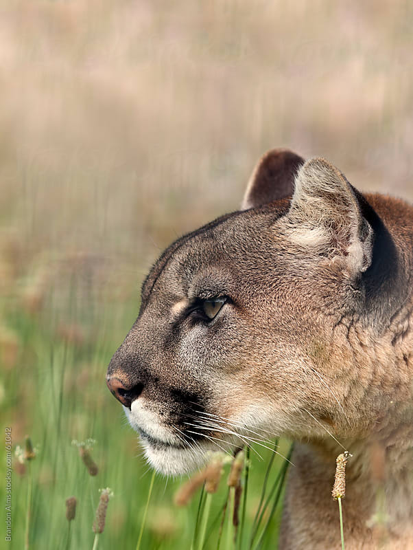 Mountain Lion in Tall Grass Stalking its Prey. by Brandon Alms for Stocksy United