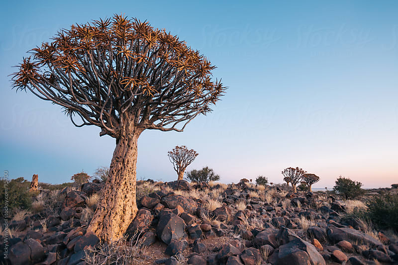 African Quiver tree at dusk by Micky Wiswedel for Stocksy United