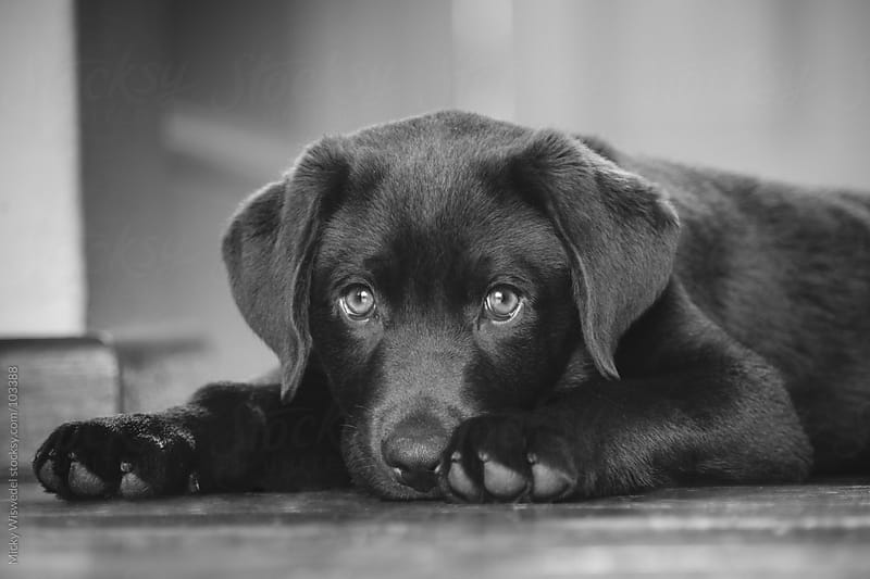 Labrador puppy on the floor by Micky Wiswedel for Stocksy United
