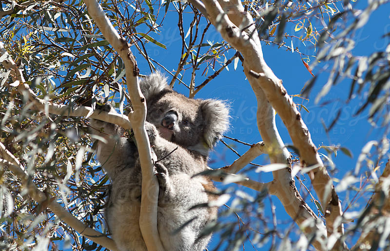 koala in gum tree by Gillian Vann for Stocksy United