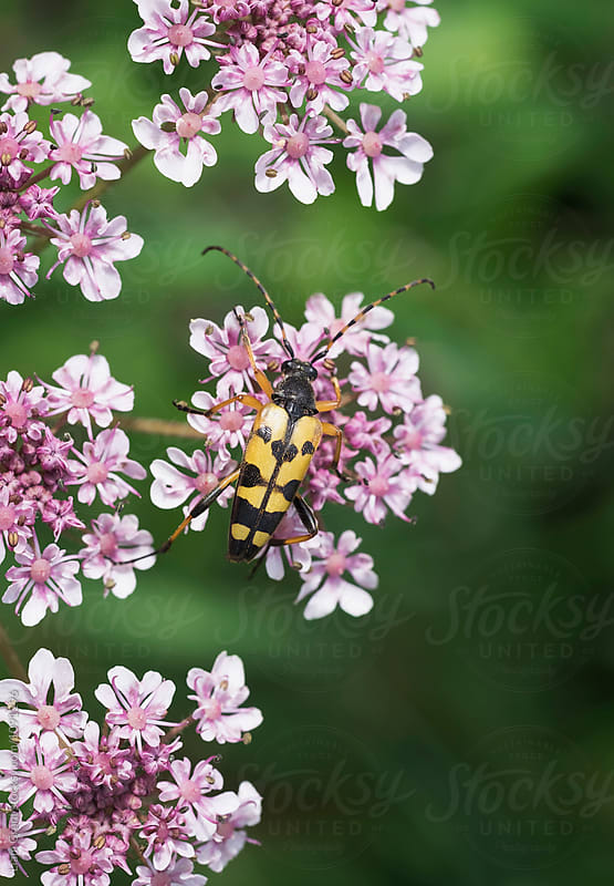 Strangalia Maculata Beetle on a wild flower. Norfolk, UK by Liam Grant for Stocksy United