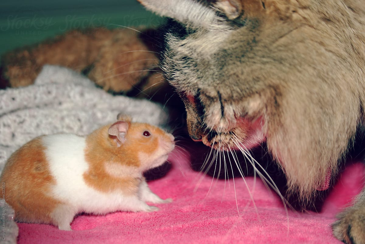 Intimidating stare down hamster