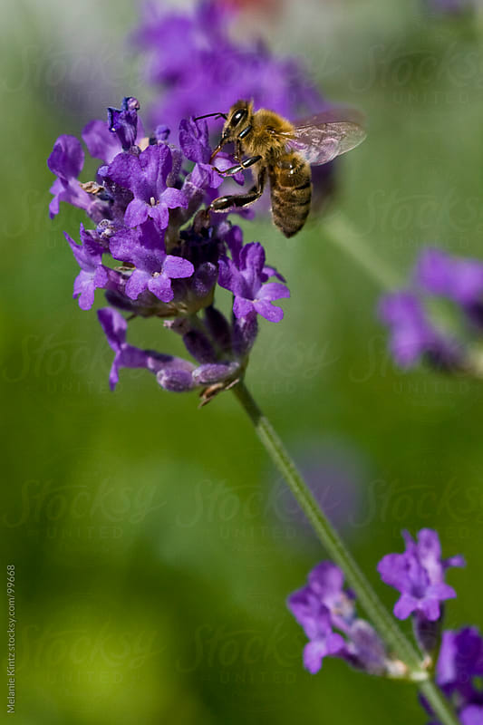 Bee sitting on Lavender, close-up by Melanie Kintz for Stocksy United