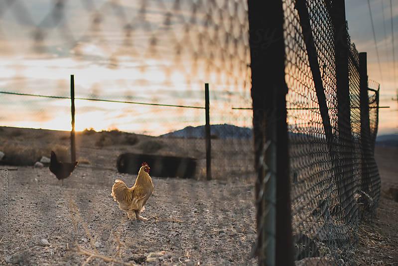 A chicken behind a chain link fence in a dusky desert yard by Rachel Bellinsky for Stocksy United
