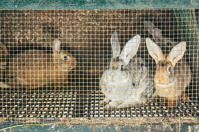 Group of rabbits in a cage by ACALU Studio for Stocksy United