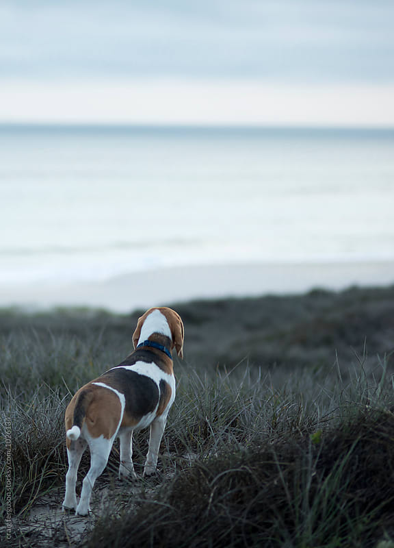 Beach Beagle by craig ferguson for Stocksy United