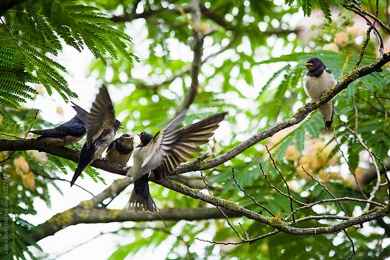 Swallow in flight while feeding her chicks perching on tree branch by Laura Stolfi for Stocksy United