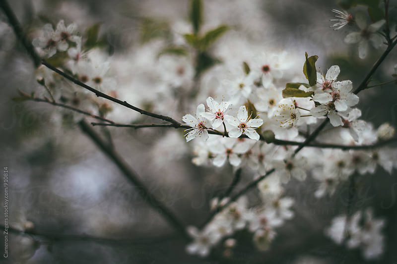 Cherry Blossoms in Spring by Cameron Zegers for Stocksy United