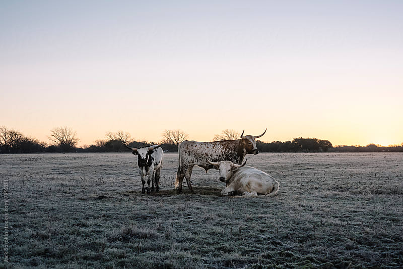 Texas Longhorns at Dawn by Jack Sorokin for Stocksy United
