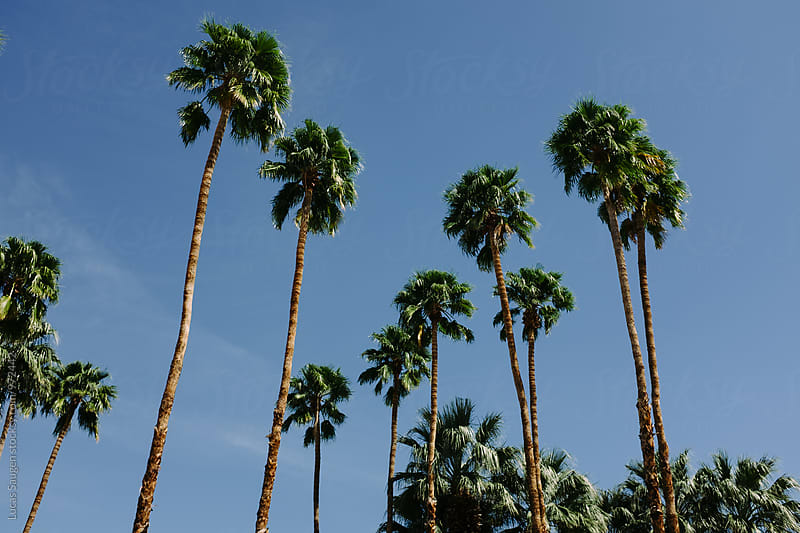 Looking up at palm trees in the desert. by Lucas Saugen for Stocksy United