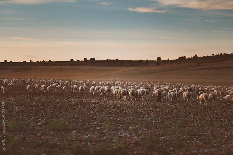sheeps walking in the field by Javier Pardina for Stocksy United