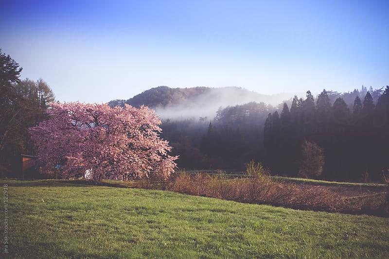 cherry blossom by jira Saki for Stocksy United