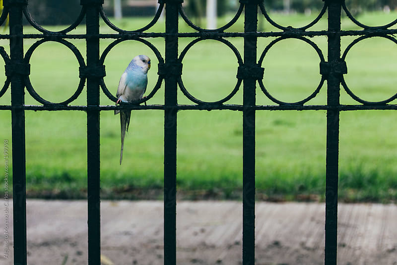 Wild parakeet perched on a fence by Alejandro Moreno de Carlos for Stocksy United
